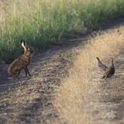 Partridges with Hare