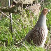Grey Partridge re-introduction