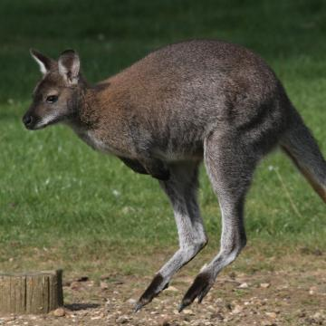 Bennett's Red-necked Wallaby