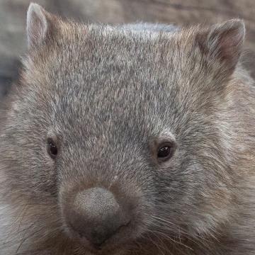 Our pair of Mainland Wombats arrived at Hamerton, from Queensland, back in March.  They are now very settled into their new home, and our Wombat enclosure is due to open in August 2018 - watch this space..!
