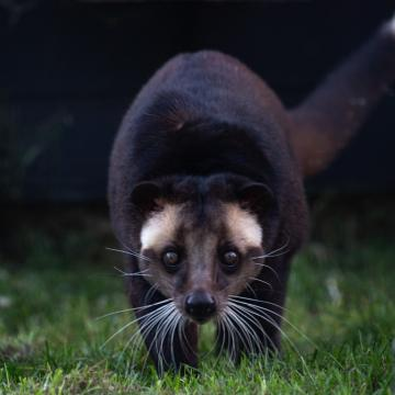 Sumatran White-bearded Civet