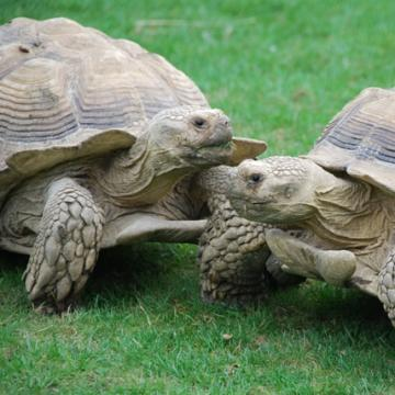 Giant Spurred Tortoises