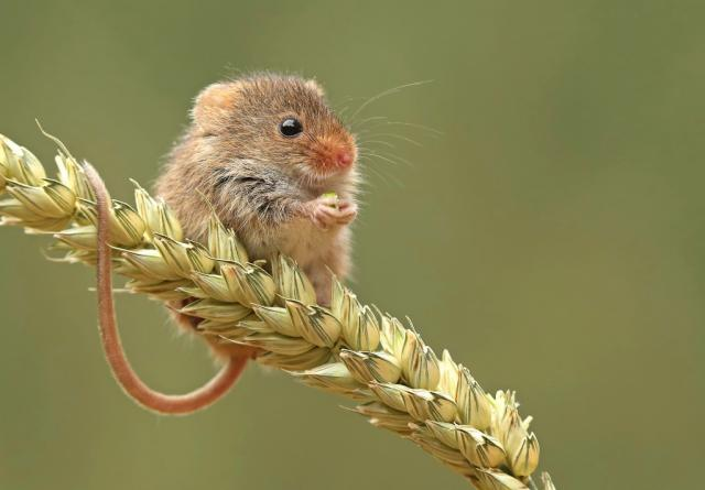 Harvest Mouse re-introuction