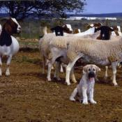 Guarding Dog Puppy with domestic flock