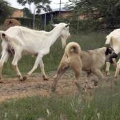 Kangal Dog with domestic Goats