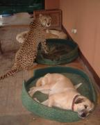 Anatolian Shepherd Dog with Cheetah
