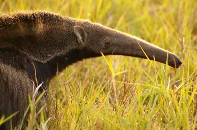 Giant Anteater, close up of snout