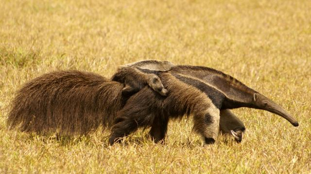 Giant Anteater with baby