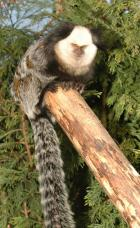 Marmoset or Tamarin