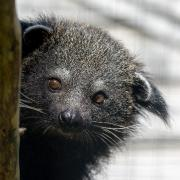 Bye-Bye Baby Binturongs...